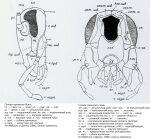 Экзотические декоративные тараканы на - Описание отряда Blattodea